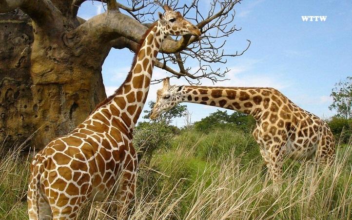 Giraffe-achtergronden-dieren-hd-giraffe-wallpapers-foto-002