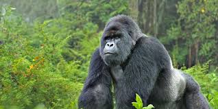 gorilla trekking 1