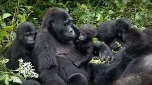 gorilla trekking 2