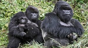 gorilla trekking 3