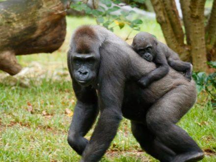 uganda gorilla trekking tours